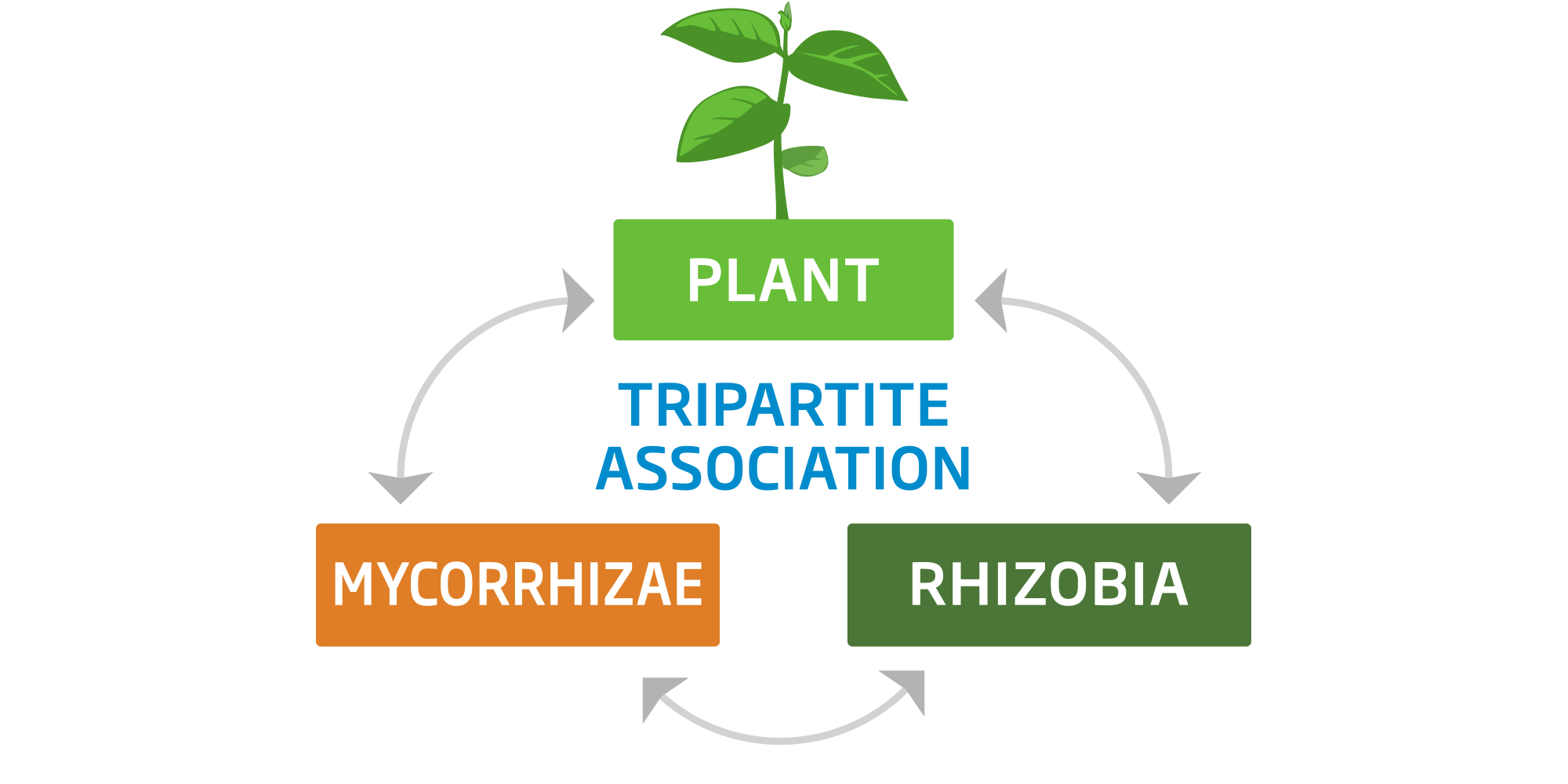 symbiosis nitrogen fixation andmycorrhizae Interactions between nitrogen fixation, mycorrhizal colonization, and host-plant growth in the phaseolus-rhizobium-glomus symbiosis.